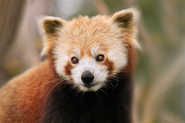 Семейство енотовые-малая панда