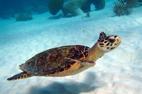 Морская черепаха бимма