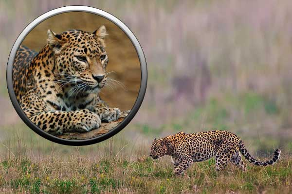 Леопард - семейство кошачьих