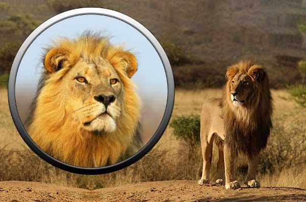 Лев - животные семейства кошачьих