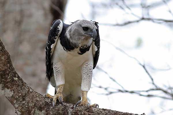 Хищная птица гарпия