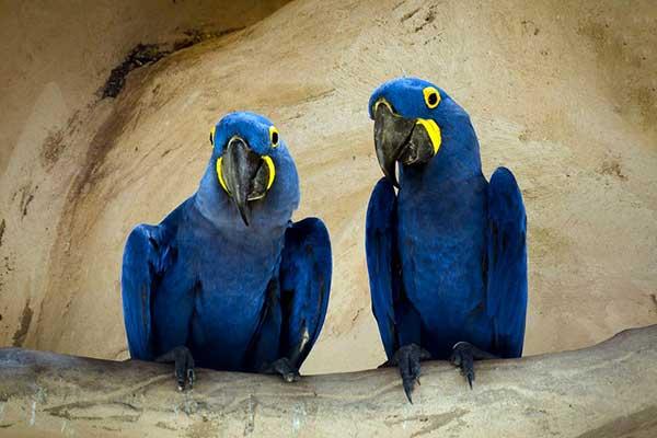 Попугай гиацинтовый ара
