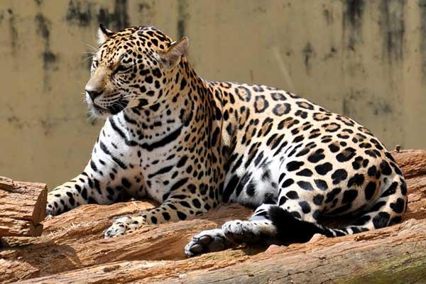 Животные Южной Америки-ягуар