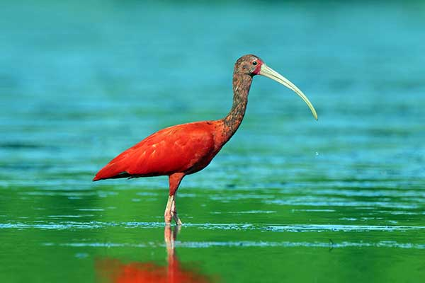 Птица Южной Америки-красный ибис