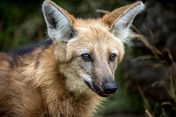 Животные Южной Америки-гривистый волк