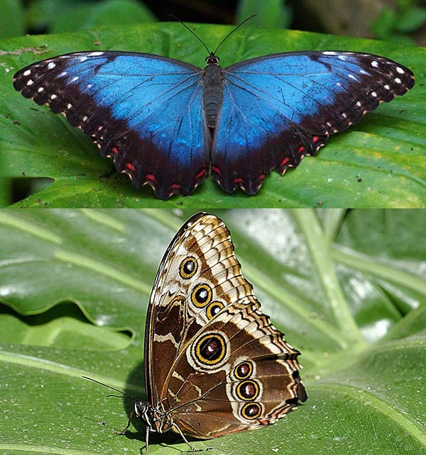 Южноамериканская бабочка морфо