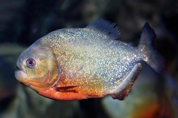 Пираньи-рыбы Южной Америки