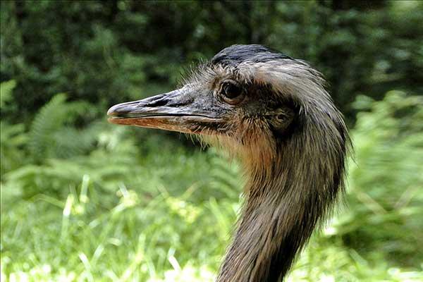 Птица нанду