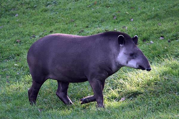 Тапир-животные Южной Америки