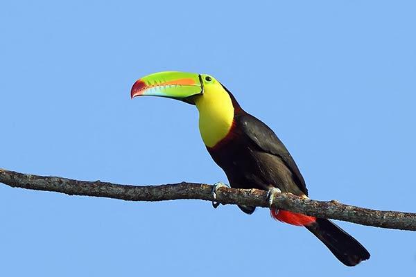 Птица тукан из Южной Америки